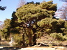 Pinus strobus 'Nana' - Dwarf Eastern White Pine