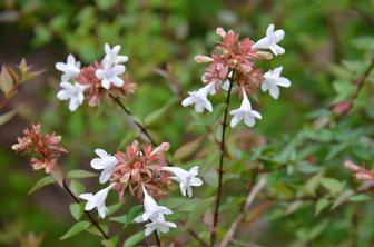 Abelia X Grandiflora Little Richard